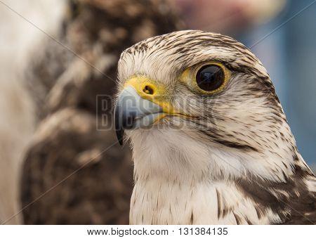Hawk, eagle, falcon, kestrel in Trasmoz, Zaragoza, Aragon Spain