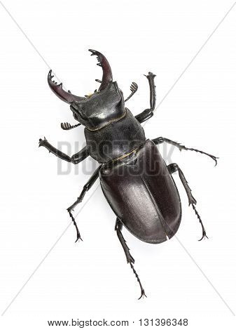Climbing Isolated Stag Beetle