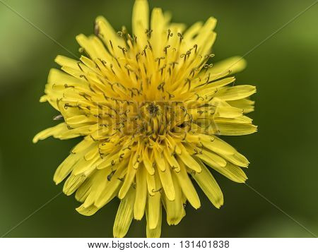 round yelow petals flower outdoor macro closeup