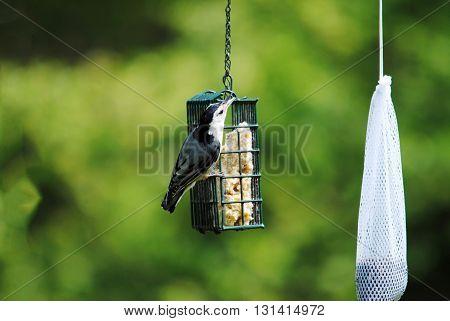 White-breasted Nuthatch Bird on a Suet Feeder