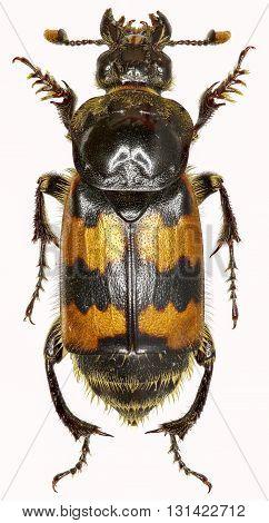 Burying Beetle on white Background  -  Nicrophorus vespillo  (Linnaeus, 1758)