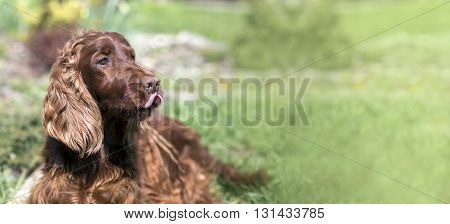 Website banner of a funny Irish Setter dog as licking his mouth