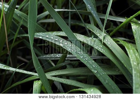 Dew droplets on green leaves in spring