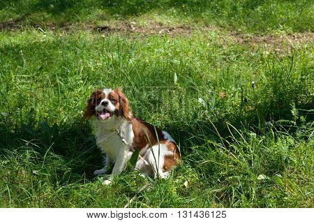 Charming Dog Cavalier King Charles Spaniel (Blenheim) on green forest meadow