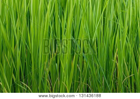 Close up of long green grass background