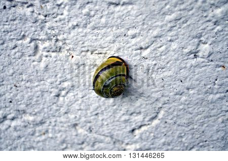 closeup of a vineyard snail on a white background