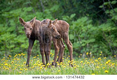 Newborn twin moose calves standing in dandelions