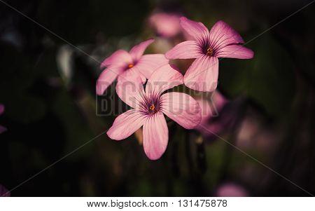 pink oxalis flower close up on dark background