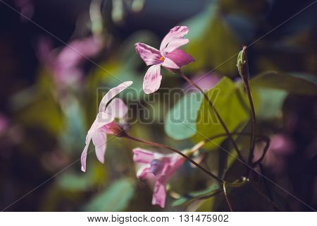 light pink oxalis flower close up with stem and leaf