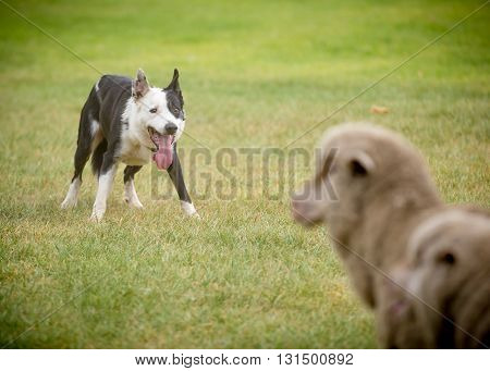 a sheep dog corralling sheep on grass