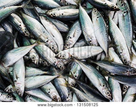 Fresh torpedo scad fishs in the market Thailand.