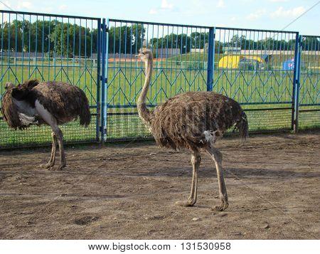 African ostrich is the largest flightless bird