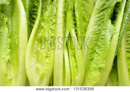 Close up Cos Lettuce. Green vegetables background.