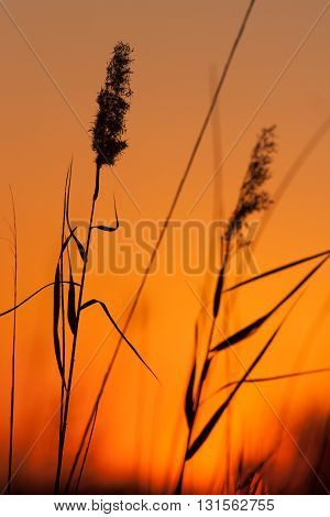 Beautifull peacefull Grass in Silhouette at Sunset
