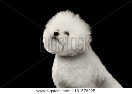 Closeup Purebred White Bichon Frise Dog Sitting and proudly looking up isolated Black Background