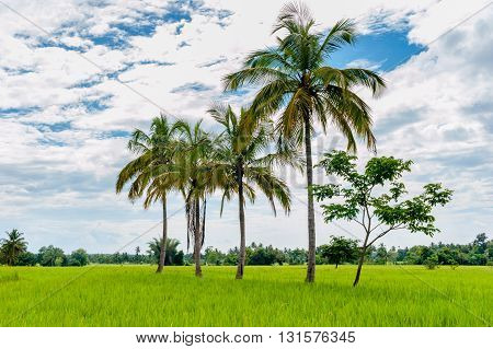 Green rice field with palms and cloudy sky landscape, Karnataka, India