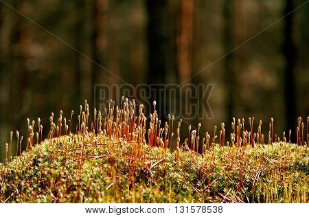 Rising moss in forest in sprin sunny day.
