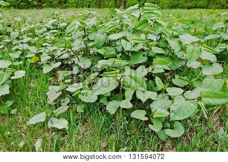Root Beer Plant Herbal Remedy, Piper Auritus