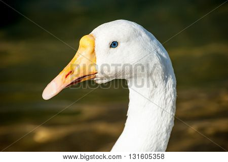 White goose portrait with blurry natural background