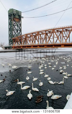 Many swans, duck & other birds swimming in the winter by a lift bridge.