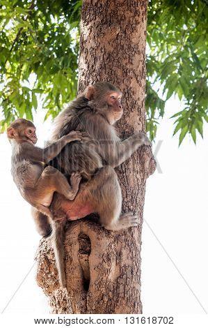 Two monkeys climbing a tree Agra India