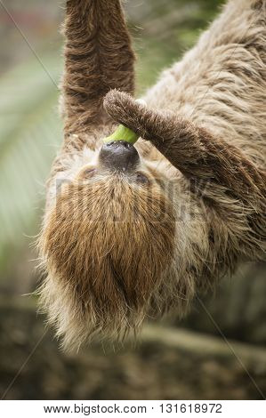 Closed up Young Hoffmann's two-toed sloth eating cucumber