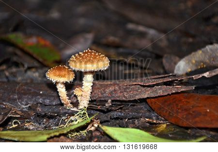 Cute little tufted caramel coloured toadstools on the forest floor