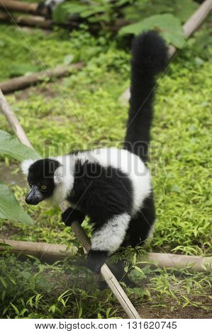Black and white ruffed lemur on the floor