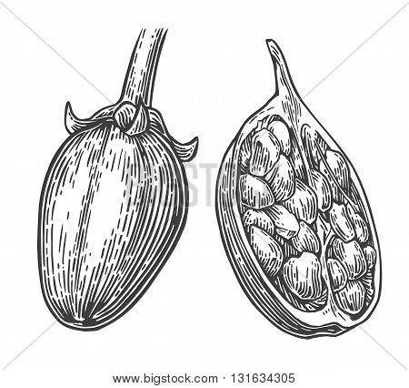 Baobab fruit and seeds. Vector vintage engraved illustration on white background. Hand drawn sketch