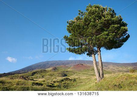 Etna Park lone pine against blue sky, Sicily