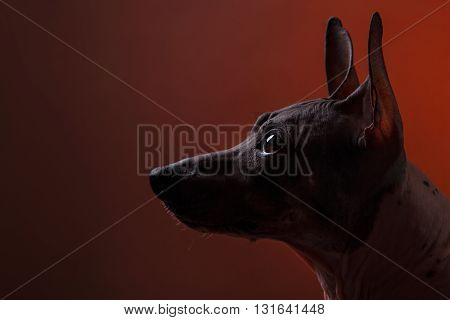 Xoloitzcuintle - hairless mexican dog breed Studio portrait on a dark background