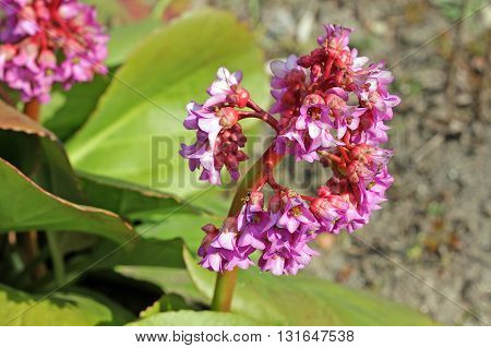 Bergenia stracheyi is a plant species in the genus Bergenia found in the Western Himalayas Afghanistan and Tajikistan. The name Bergenia was given to the genus in honour of the German botanist and physician Karl August von Bergen (1704-1759).