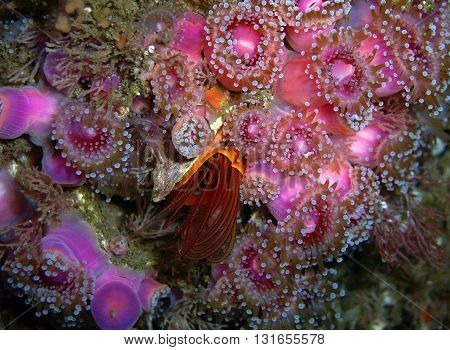 Giant Acorn Barnacle with extended cirri surrounded by Club-tipped Anemones found off of California's Channel Islands