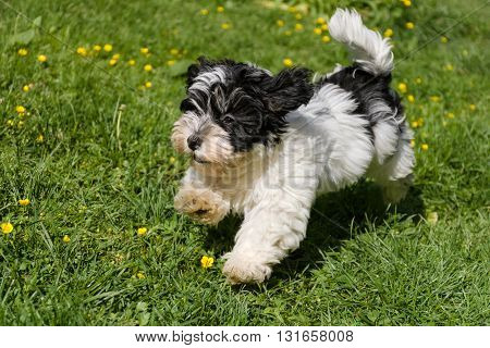 Cute spotted havanese puppy dog is running in a spring flowering garden