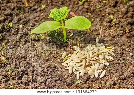 Cucumber Seedlings Sprout From The Ground Close-up