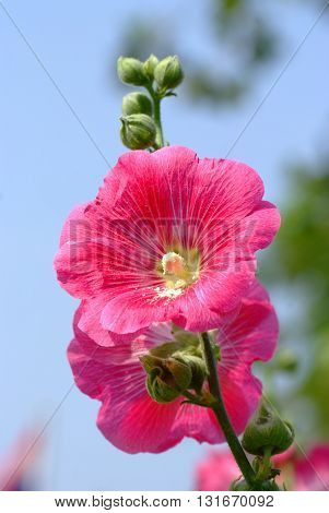 Pink Hollyhock Flowers in nature in  garden