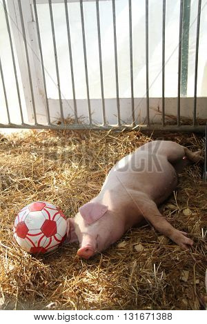 Little pig worn out & sleeping after soccer