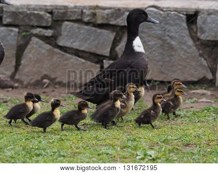 Ducklings take a Stroll with their Mother. poster
