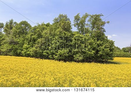 An idle Indiana agricultural field is painted vivid yellow with butterweed (aka cressleaf groundsel and yellowtop) in the late spring.