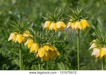 yellow lily blooming in the spring (Fritillaria imperialis)