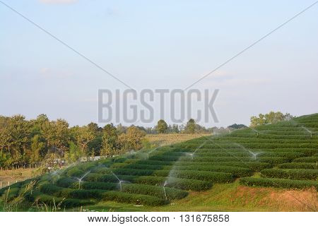 tea plantations, Tea is an aromatic beverage commonly prepared by pouring hot or boiling water over cured leaves of the Camellia sinensis