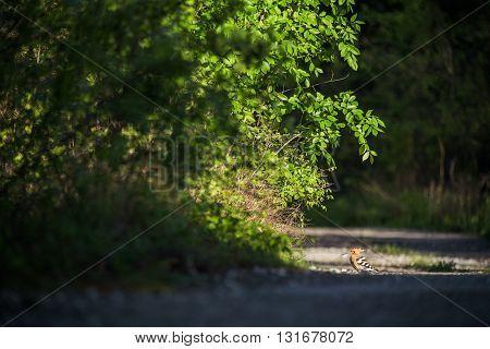 Eurasian Hoopoe Upupa epops in the road