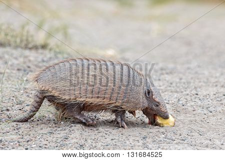 Armadillo Close Up Portrait Looking At You