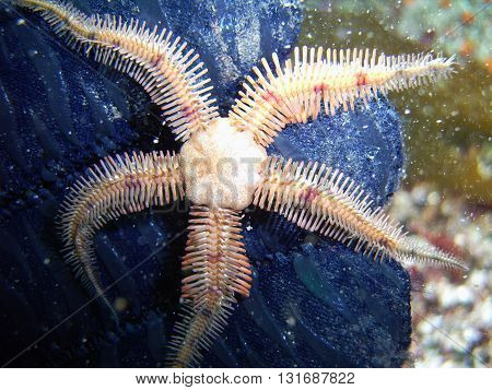 Flat-spined Brittle Star (Ophiopteris papillosa) found off of central California's Channel Islands.