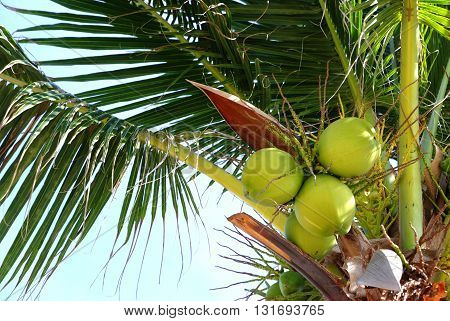 The coconut tree (Cocos nucifera) is a member of the family Arecaceae (palm family)