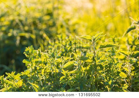 Beautiful Photo With Nettle Grwoing On Meadow
