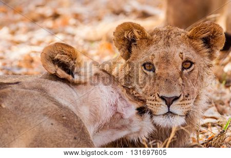 Mother and lion cub looking into the camera