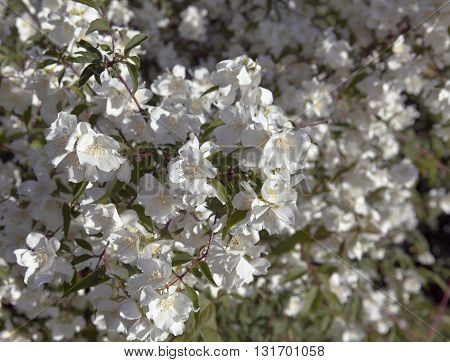 Closeup, macro of a jasmine flowers on a bush. Hedge and trees in the background. Summer.