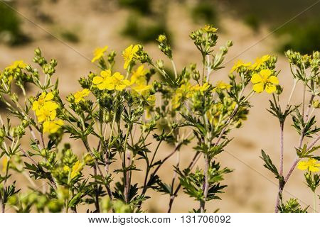 Yellow flowers plants - Potentilla argentea with family Rosaceae.