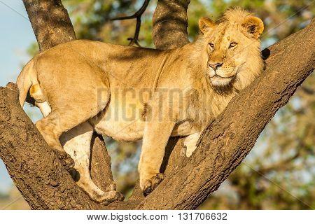 Wild Tree climbing Lion in the serengeti